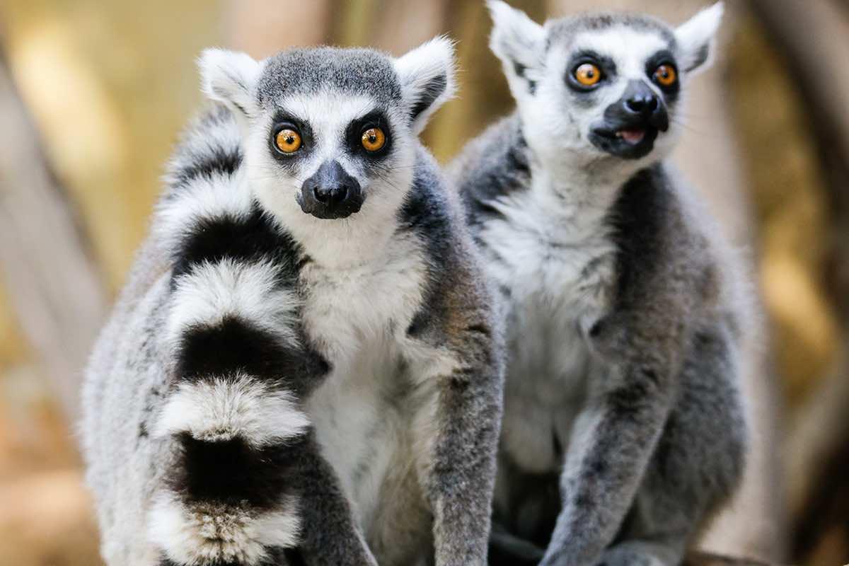 lemurs The Wildlife Pharmacy