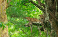 Leopard Sighting At Kabini