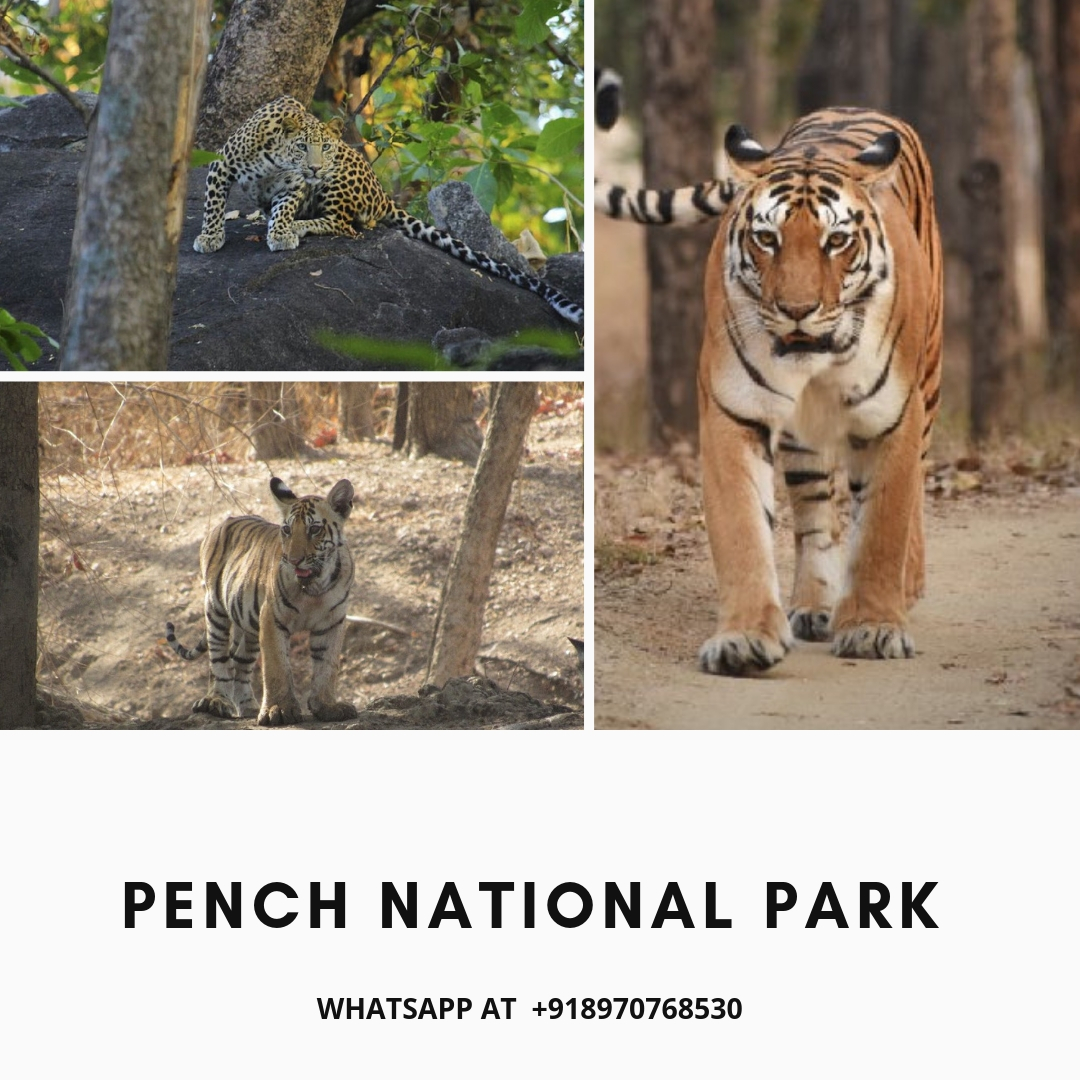 pench tiger sightings
