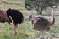 kenyas 2 kinds of ostrich