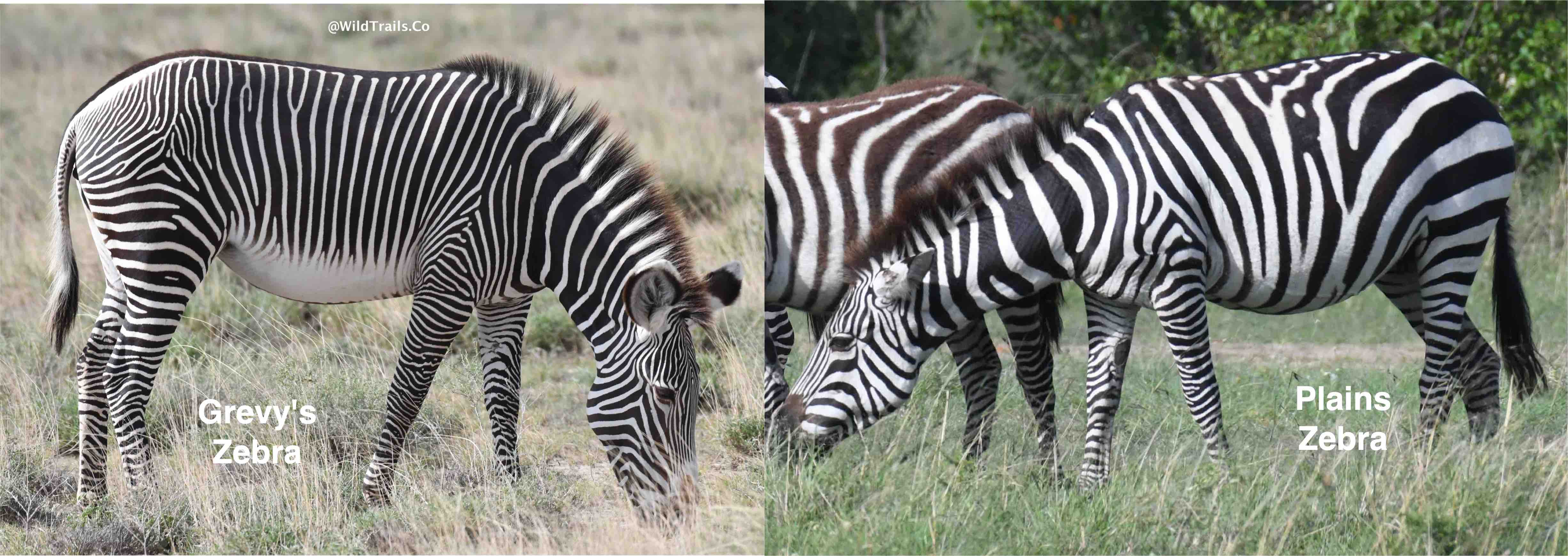 kenya's 2 kinds of zebras