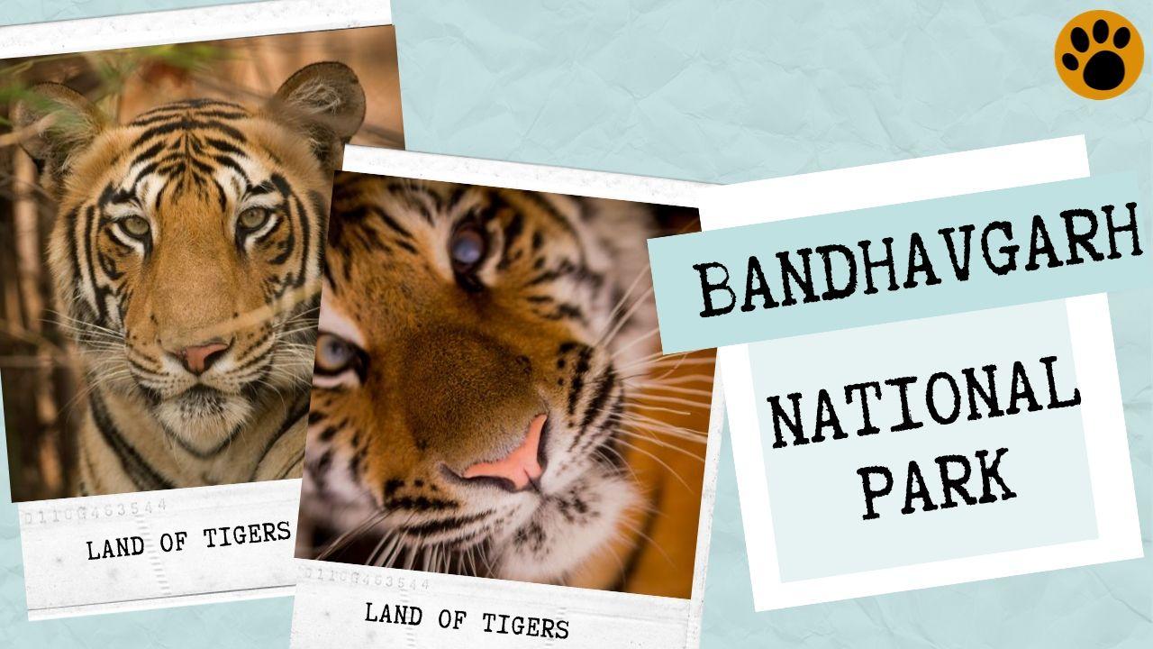 Bandhavgarh Tiger Sightings