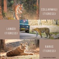 Pench Tigers