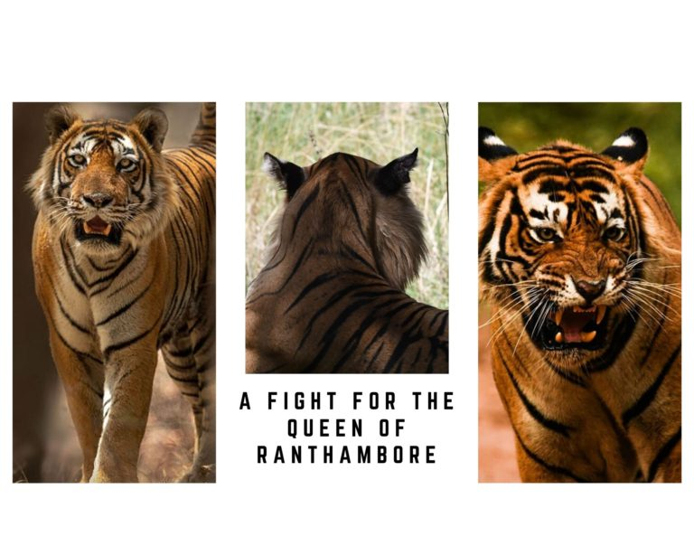 rANTHAMBORE RECENT TIGER SIGHTINGS