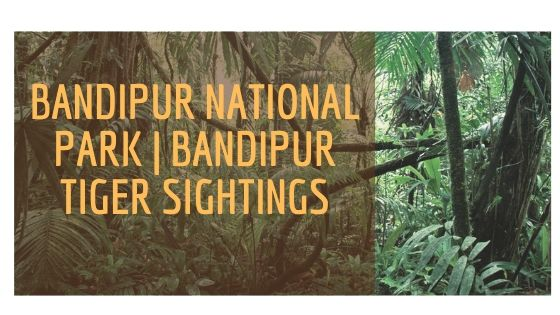 Bandipur tiger sightings