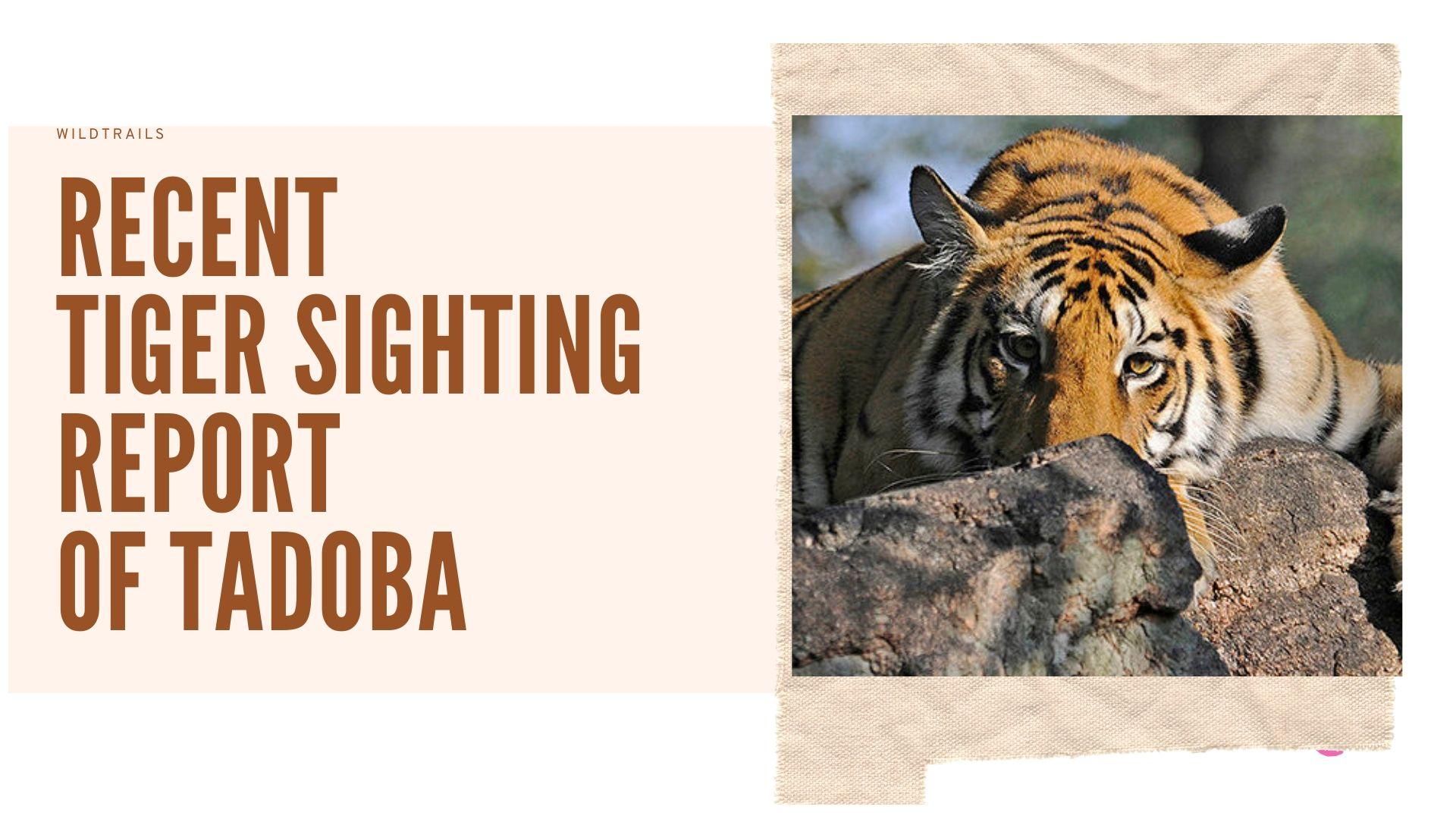 Tiger Sightings in Tadoba