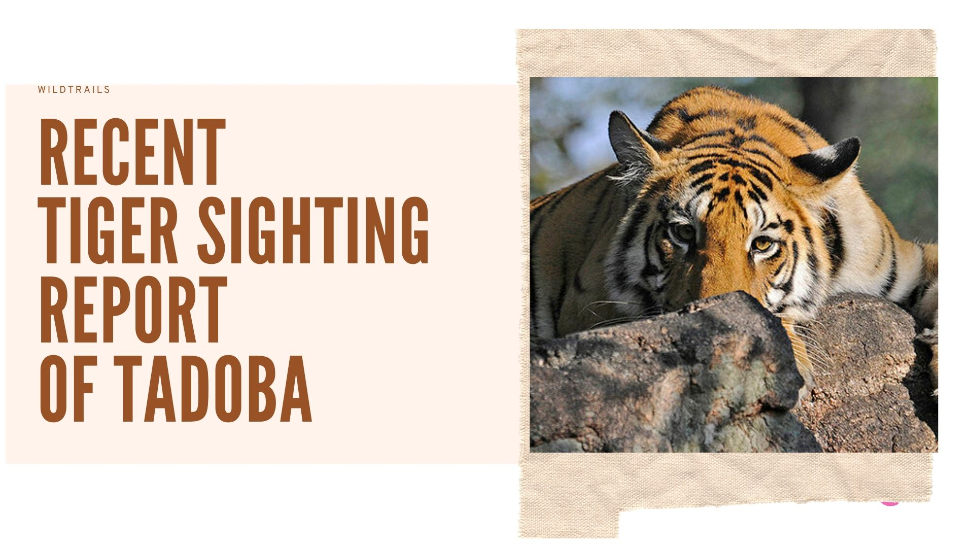 Tiger Sightings in Tadoba