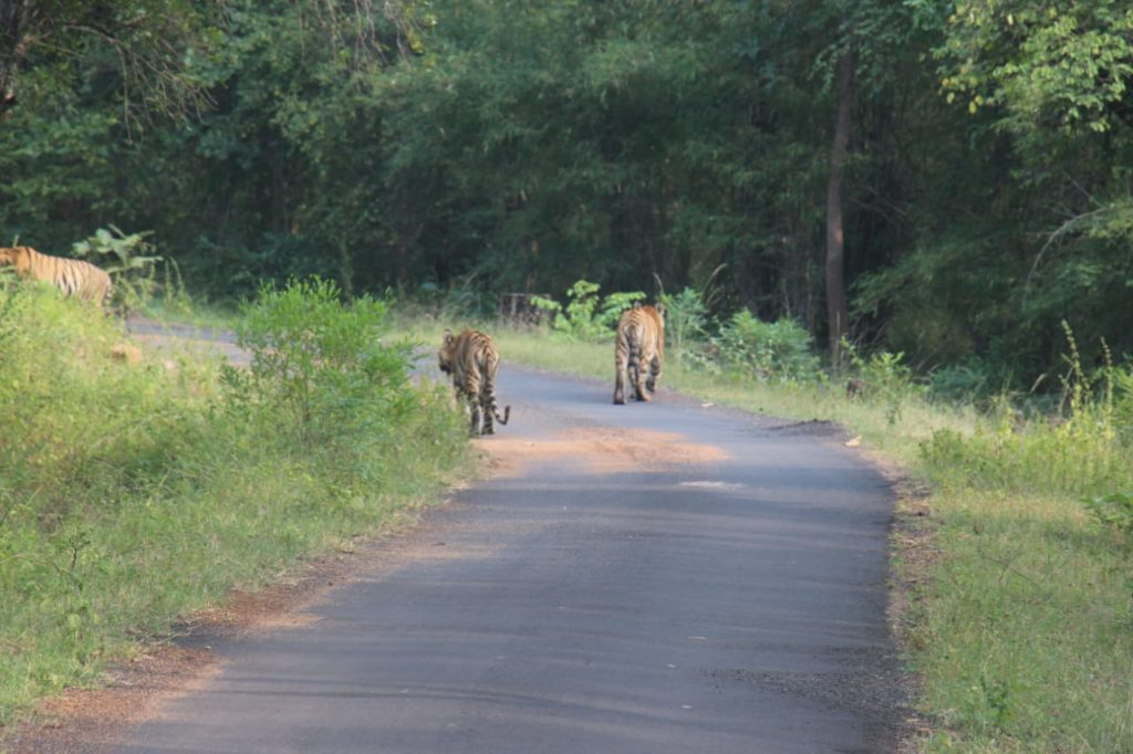 Tiger Sightings Tadoba