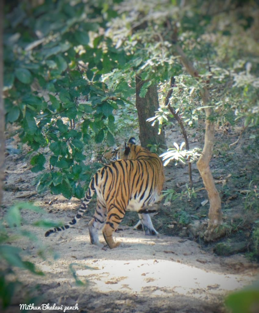Tadoba Tiger Sightings