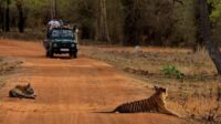 Tadoba Jungle Safari rules during COVID-19 Lockdown