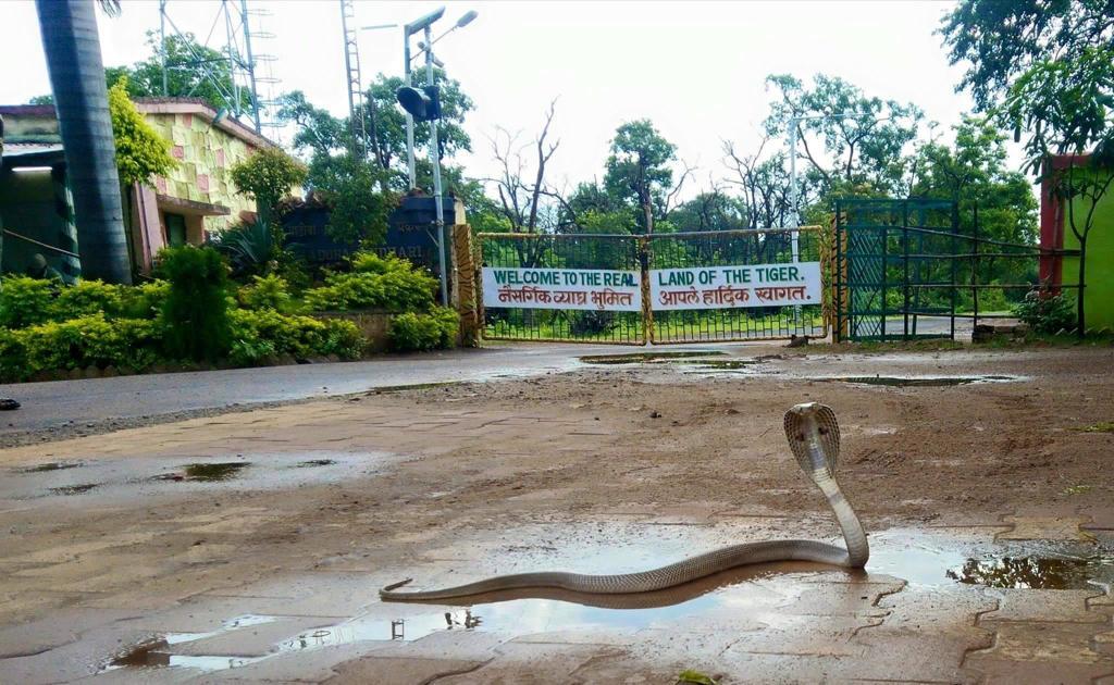 Tadoba Jungle Safari rules during COVID-19 Lockdown