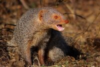 Asian Mongoose