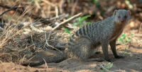 African Mongoose