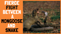 Fierce Fight Between a Mongoose and Snake