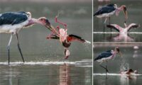 marabou stork attacks flamingo