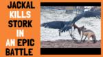 Jackal Kills Stork