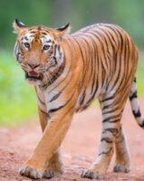 Tigress Maya