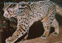 Marbled Cat