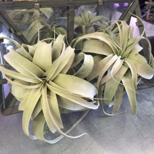 Xerographica Air Plant $16