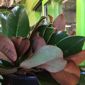 Magnolia Tips $14.95 per bunch