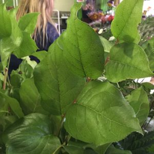 Salal Tips $9.50 per bunch