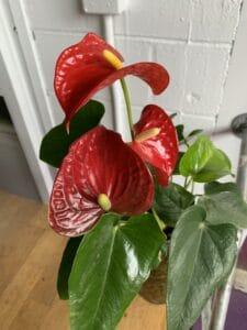 Anthurium Plant $40