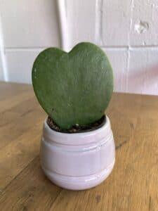 Hoya Hearts Plant