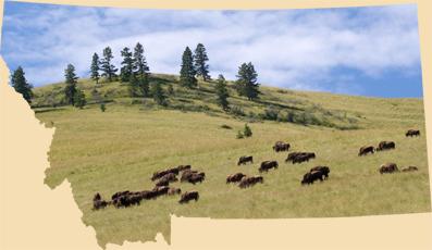 Broken Hart Adventures Montana bison
