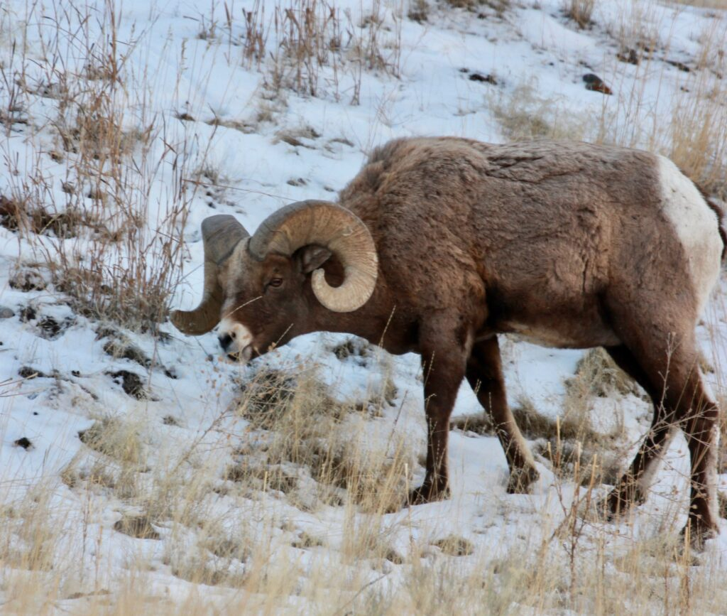 Montana big horn sheep ram