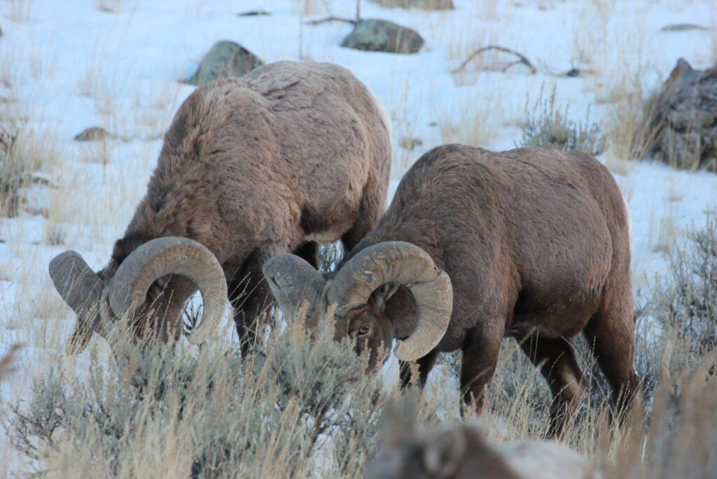 Montan Big Horn Sheep