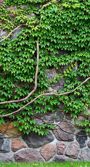 vine-on-wall