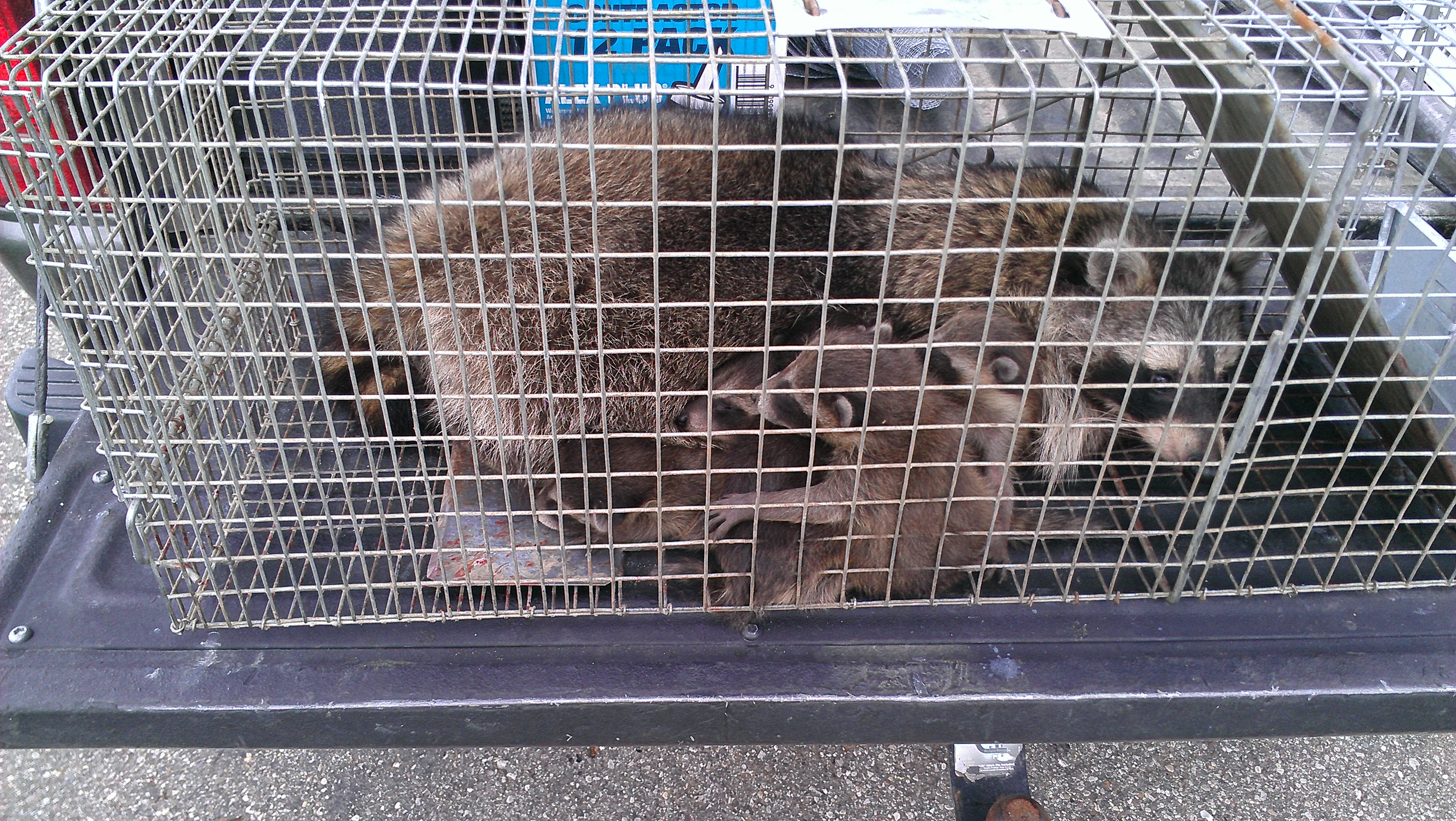 raccoons and babies in a trap