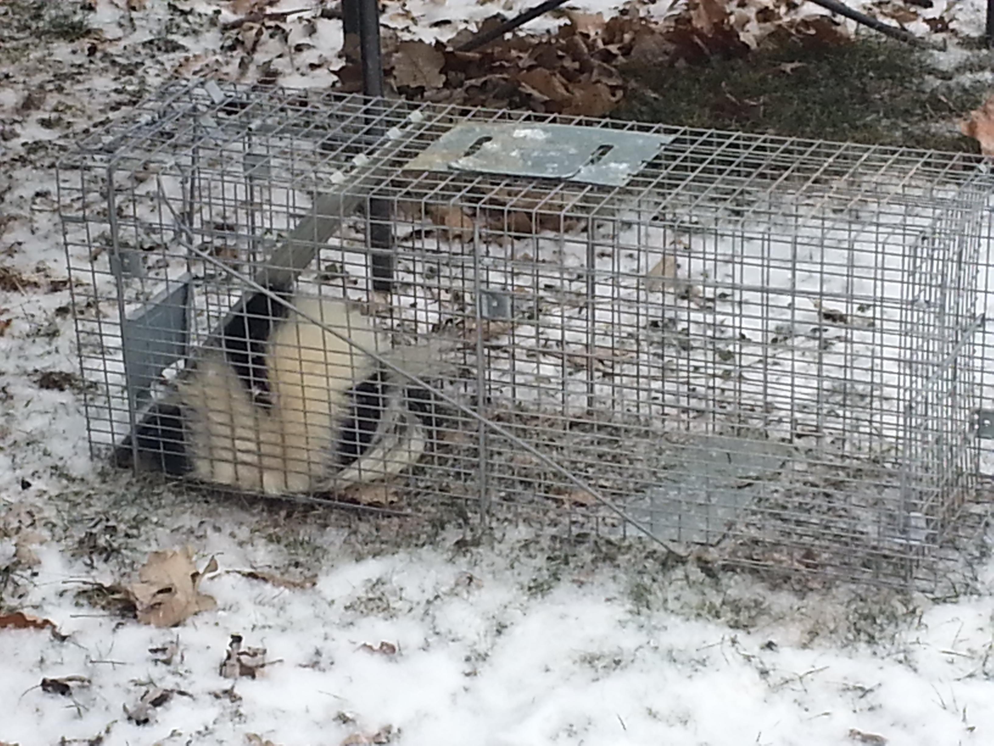 skunk in a trap