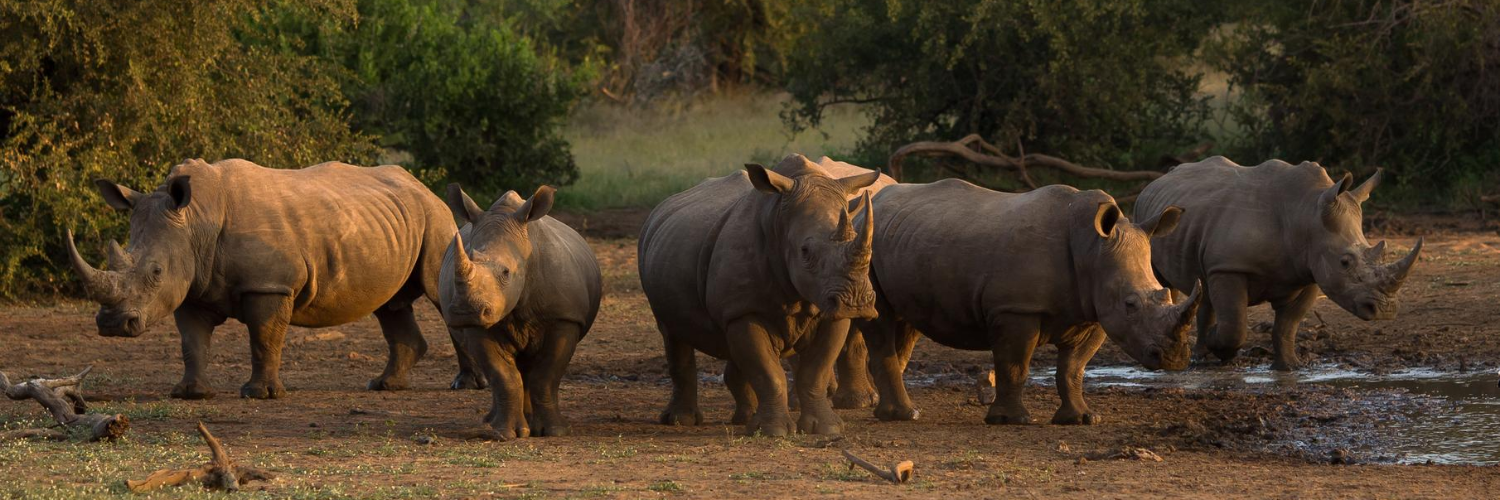 Rhino Poaching Falls by More Than Half in South Africa and Namibia - The Planetary Press