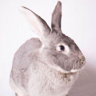 Bugz, Giant Flemish Rabbit