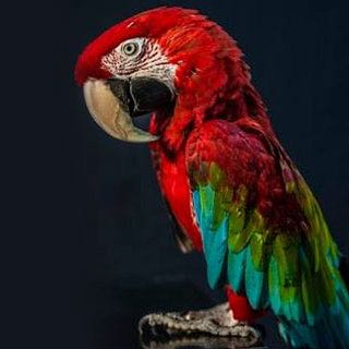 Coco, Green Winged Macaw
