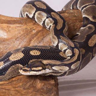 Snuggles, Ball Python