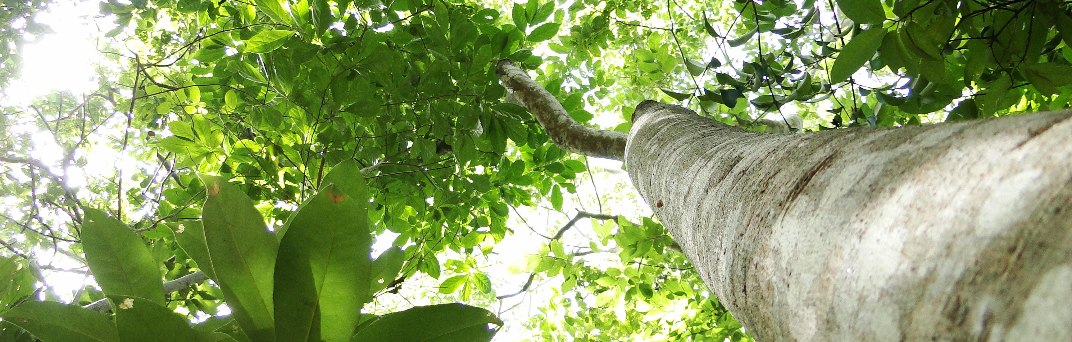 Árvore em floresta tropical