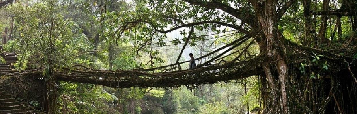 Ponte de Raízes - Índia.