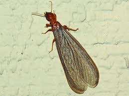Drywood Termite Control in Fullerton