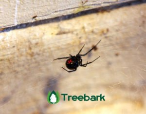 5 Most Common Spiders - Black Widow