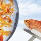 One Percent Goldfish
