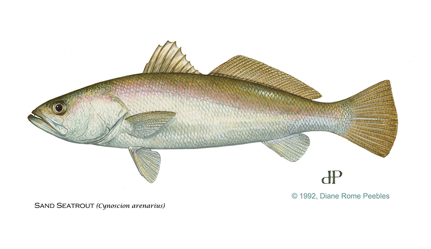 sand sea trout