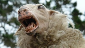 Sheep mad