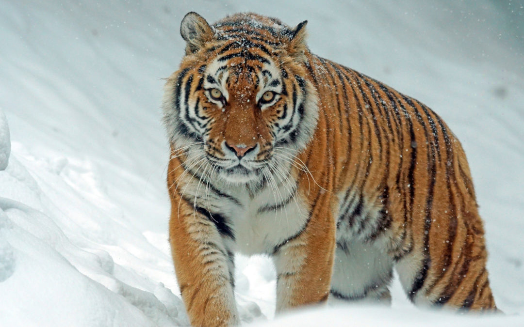 The Tiger in the City