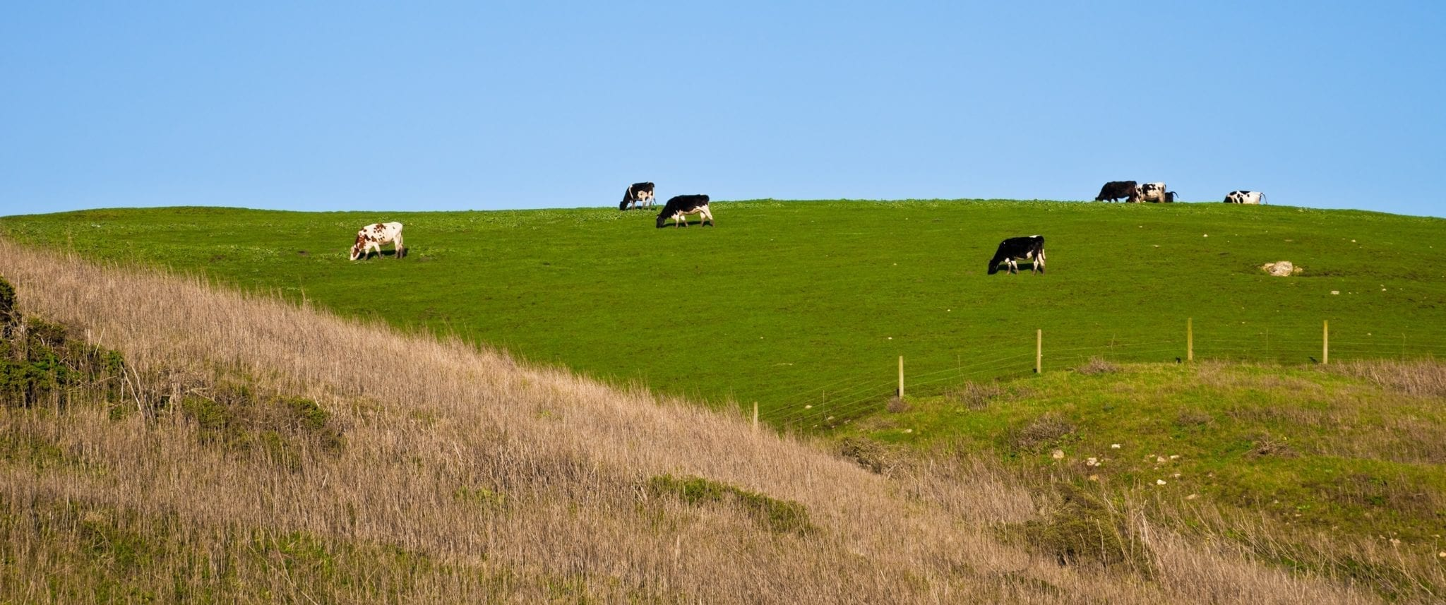 cows grazing in meadow on hill
