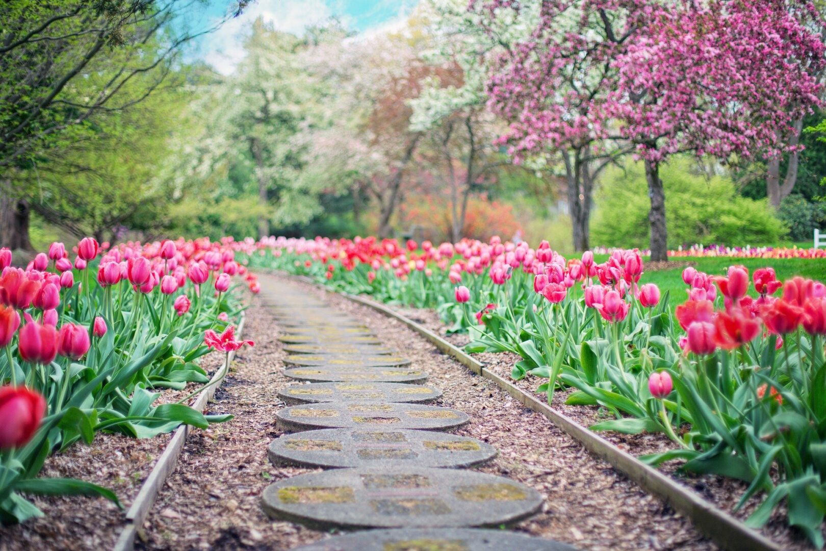 Path with tulips lining either side