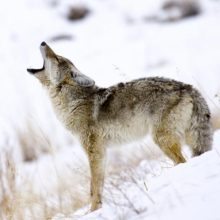 5 Tips for Hunting Public Land Coyotes
