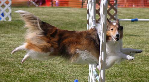 A Collie Making a Jump