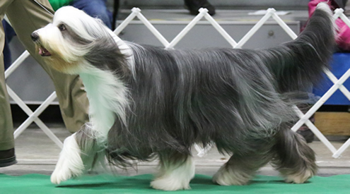 Bearded Collie Displaying Conformation